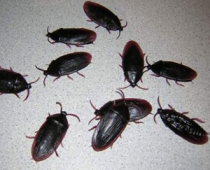 Fake Cockroaches