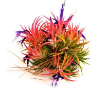Colorful Ionanthas Cluster
